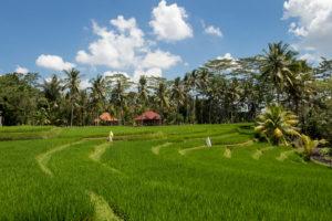 Reisfelder im Indonesien-Urlaub