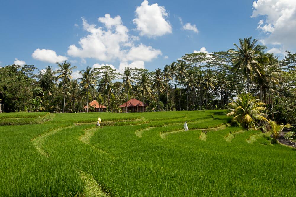 Unsere Wanderung auf Bali führte uns entlang vieler grüner Reisfelder