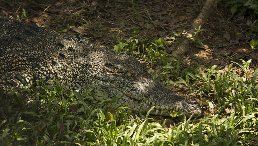 Krokodil-Semenggoh-Orang-Utan-Wildlife-Centre-Borneo