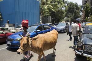 Die berechenbarsten Verkehrsteilnehmer: Kühe