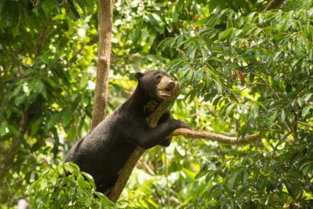 Sepilok Tipps Borneo Malaienbären und Orang Utans