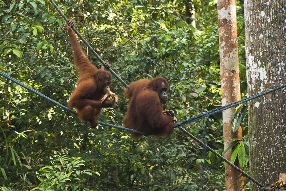 Morgen-Fuetterung-Orang-Utan-Semenggoh-Wildlife-Centre