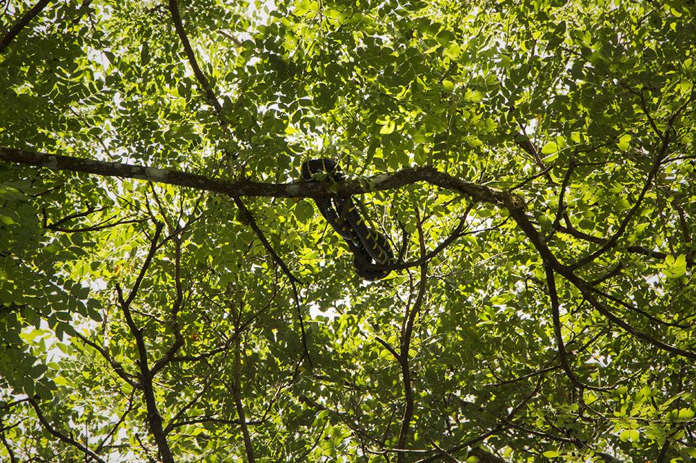 Eine große Schlange liegt zusammengerollt wie Kaa vom Dschungelbuch hoch oben in den Bäumen