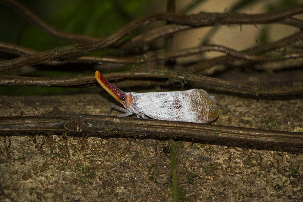 Ein weiteres interessantes Insekt im Mulu Nationalpark