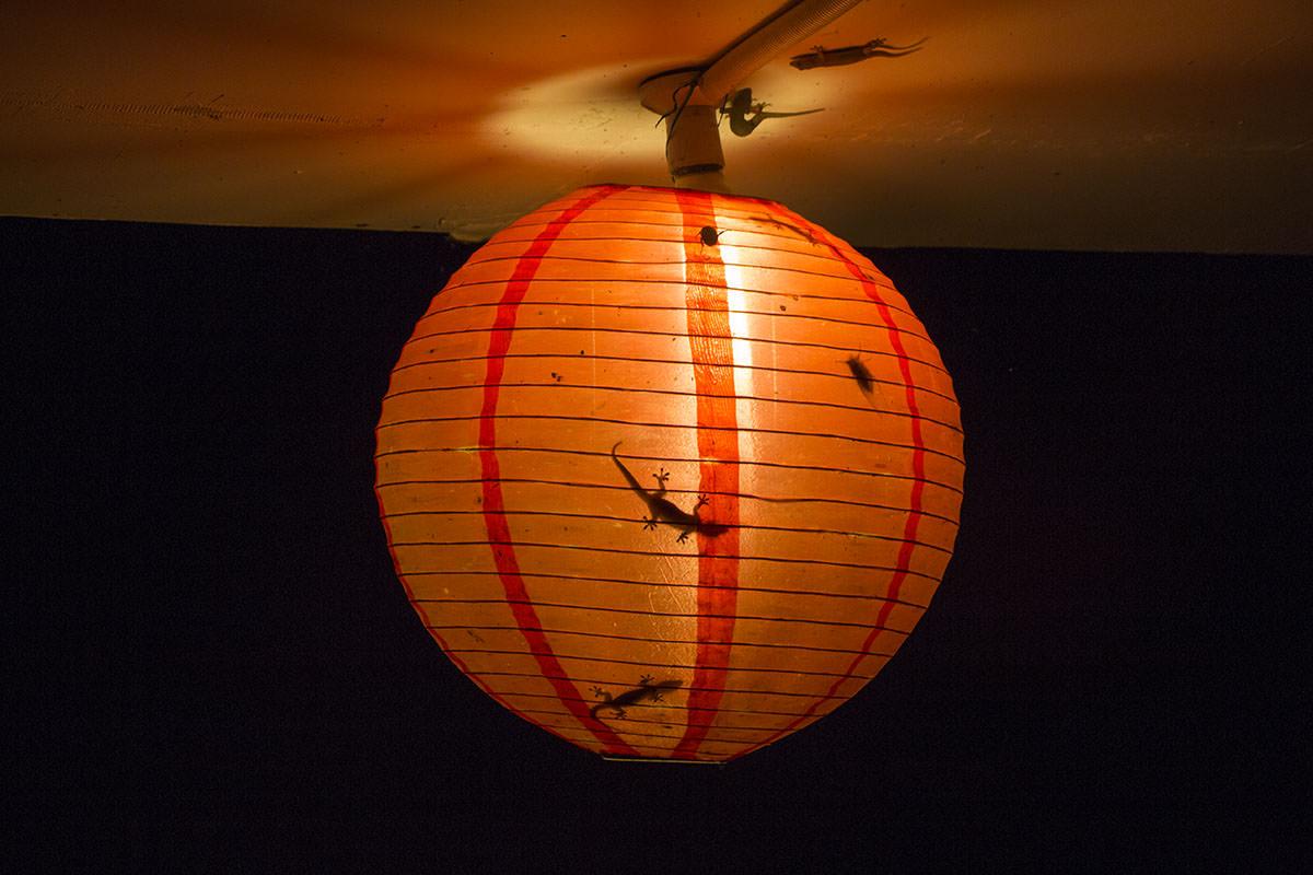 Mulu-Nationalpark-Chinesische-Laterne-Geckos