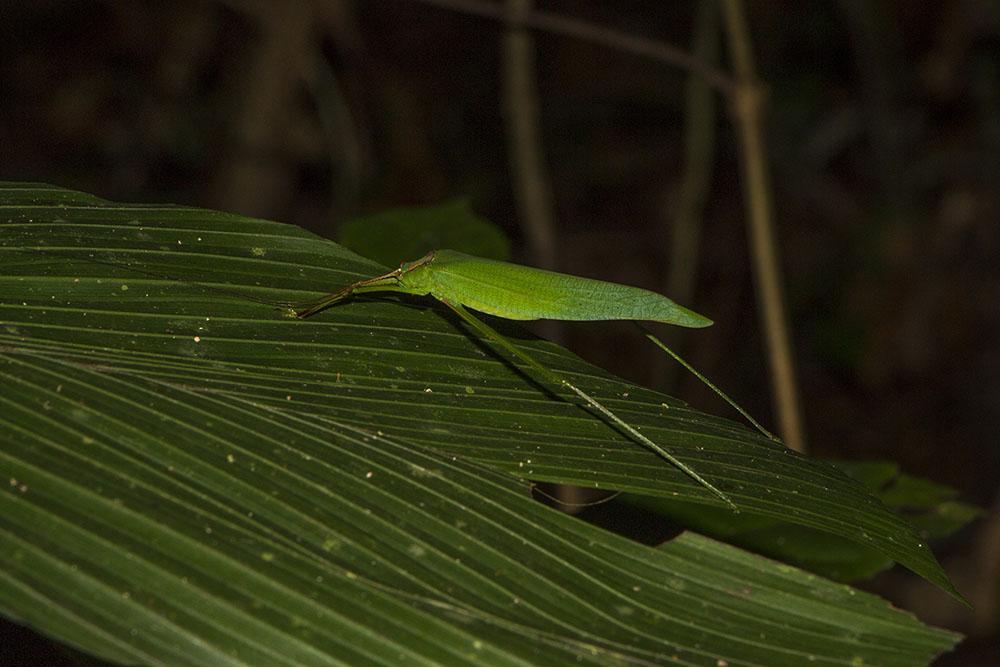 Dieses Insekt tarnt sich als Blatt