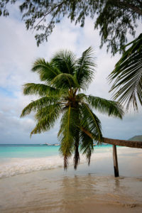 Gestützte Palme an der Anse Volbert auf Praslin
