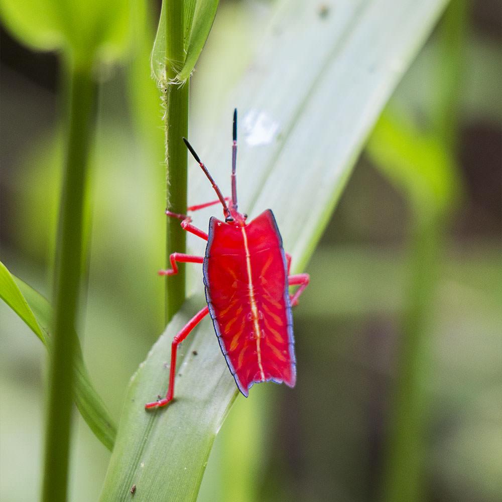 Pentatomoidea-Insekt-Mulu-Nationalpark-Borneo