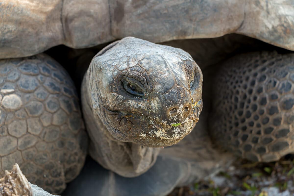 Während eines Seychellen-Urlaubes wirst du den Riesen-Schildkröten begegnen