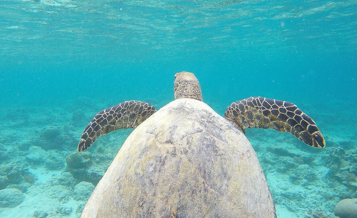 Beim Schnorcheln auf den Gili Inseln sind wir dieser Meeres-Schildkröte begegnet