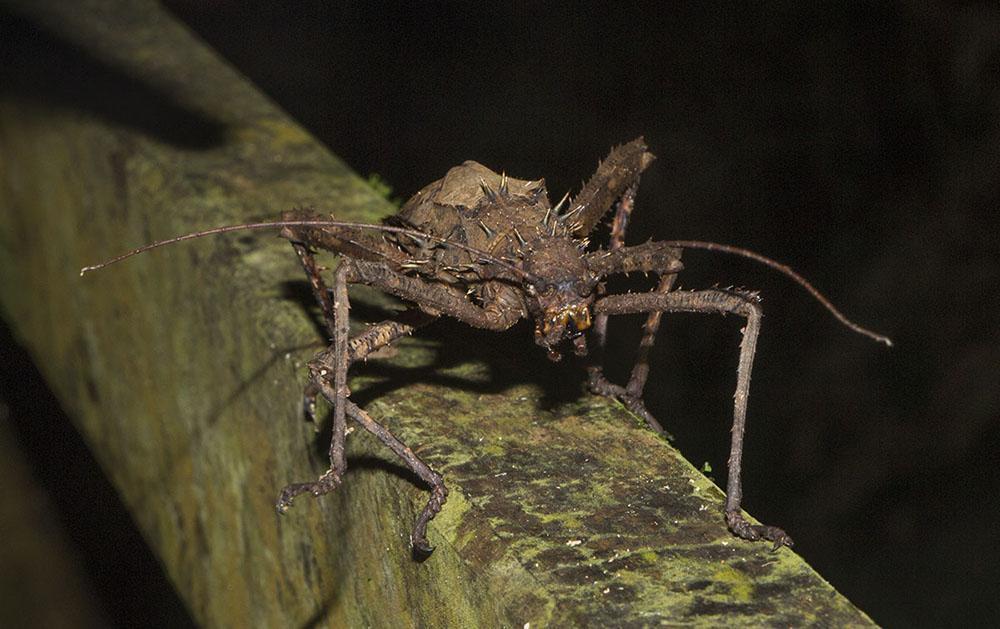 Eine große Gespenstschrecke (Stick Insect) auf einem Geländer im Mulu NP auf Borneo