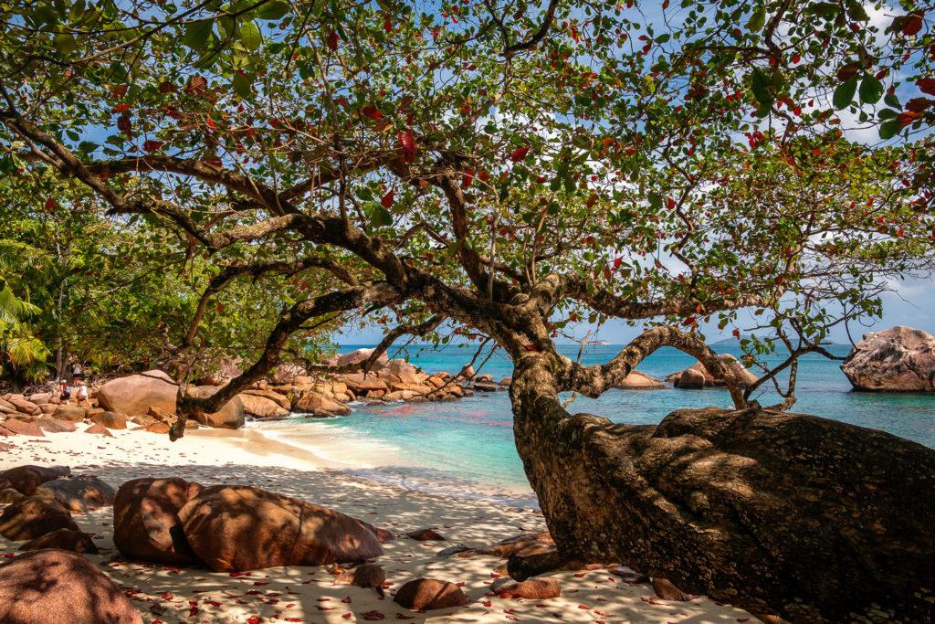 Mandelbaum in einer Bucht der Anse Lazio auf Praslin