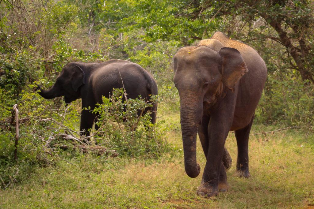 Asiatische Elefanten-Familie im Yala NP