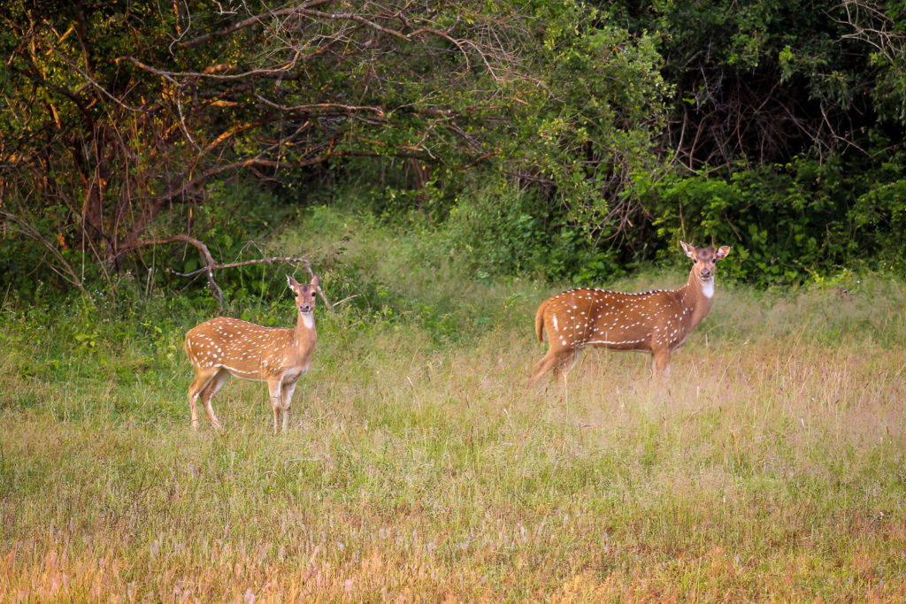 Axishirsche während einer Safari im Yala Nationalpark