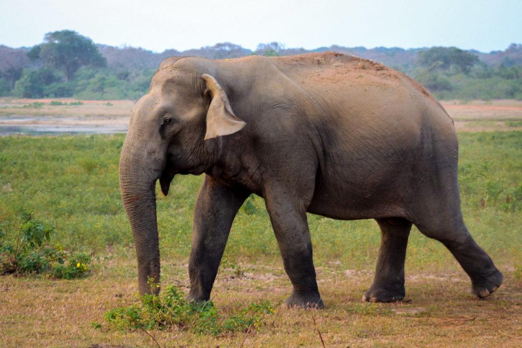 Ein Elefantenbulle im Yala Nationalpark auf Sri Lanka