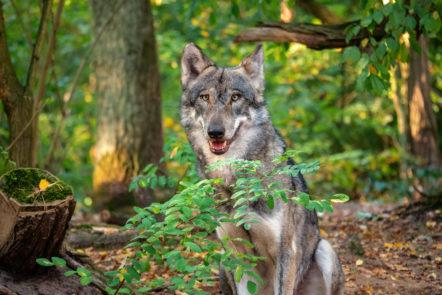 Europäischer Grauwolf im Wolfcenter Dörverden