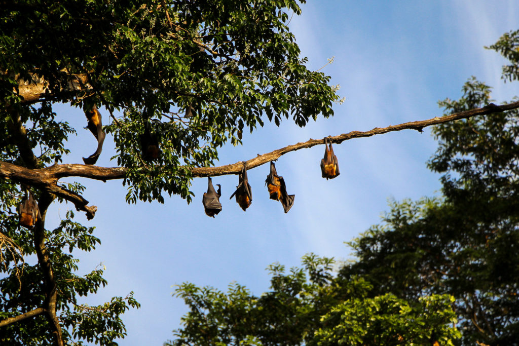 Ein Baum voller Flughunde im Royal Botanical Garden Kandy