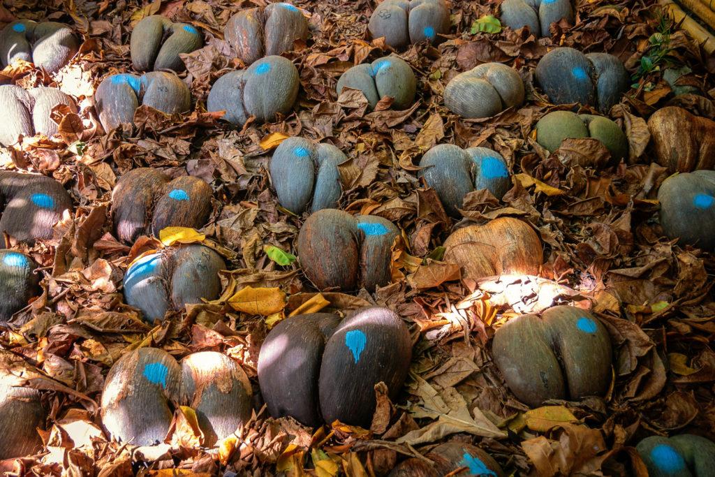 Geerntete Coco de Mer-Nüsse im Fond Ferdinand Park