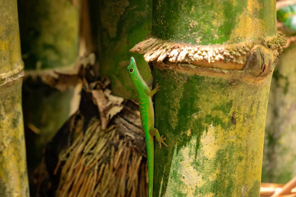 Ein grüner Tag-Gecko am Bambus