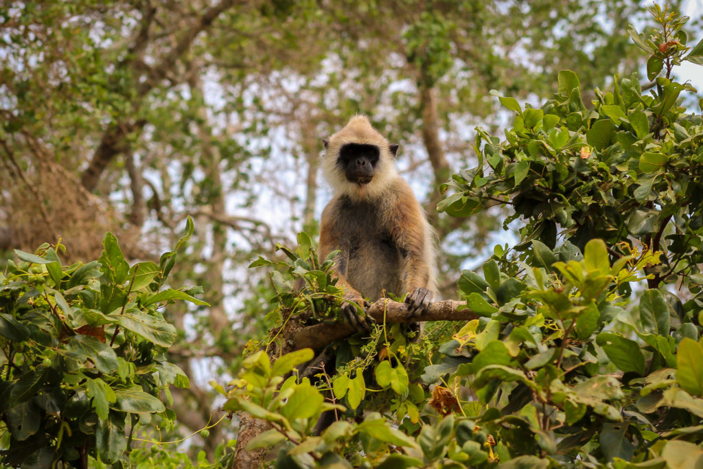 Hanuman-Languren, weiße Affen, schauen von den Bäumen zu uns herab