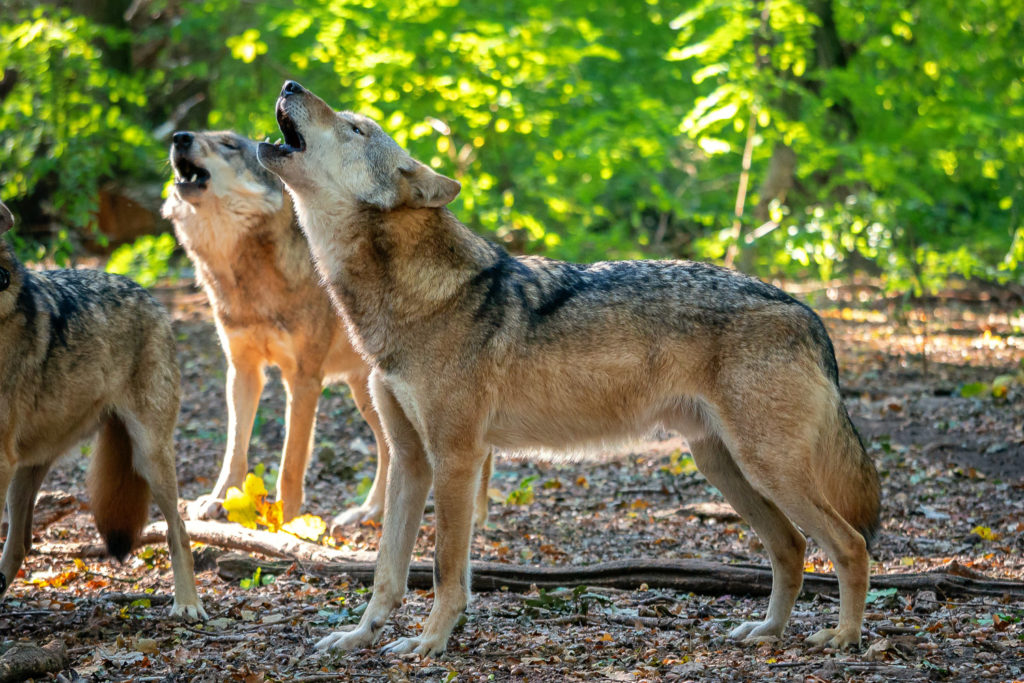 Heulende Wölfe im Wolfcenter Dörverden