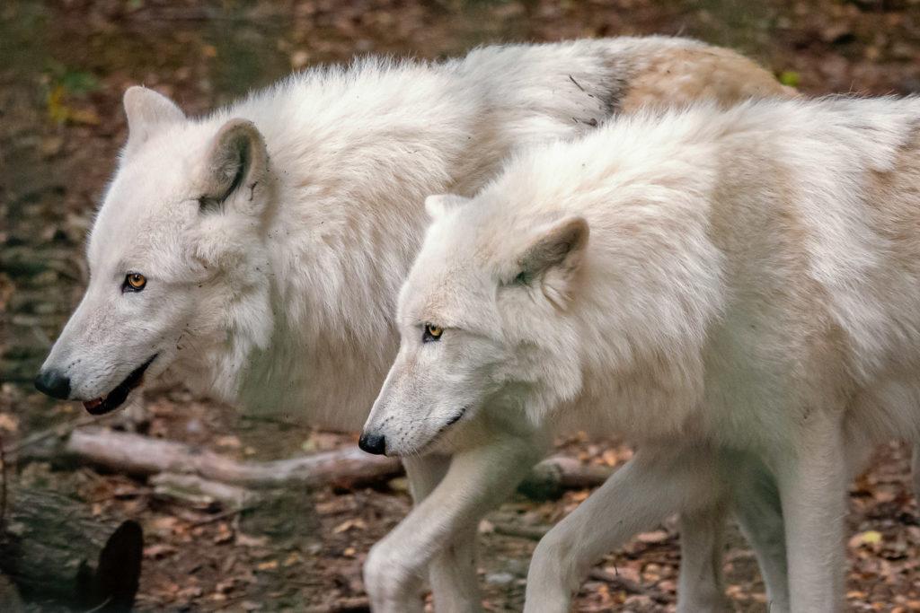 Die beiden Hudson Bay Wölfe Dala und Kimo