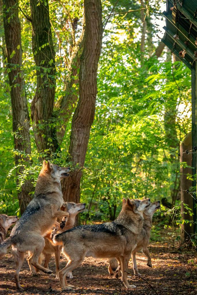 Hungrige Wölfe warten auf ihr Futter