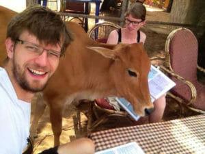 Kuh beim Frühstück