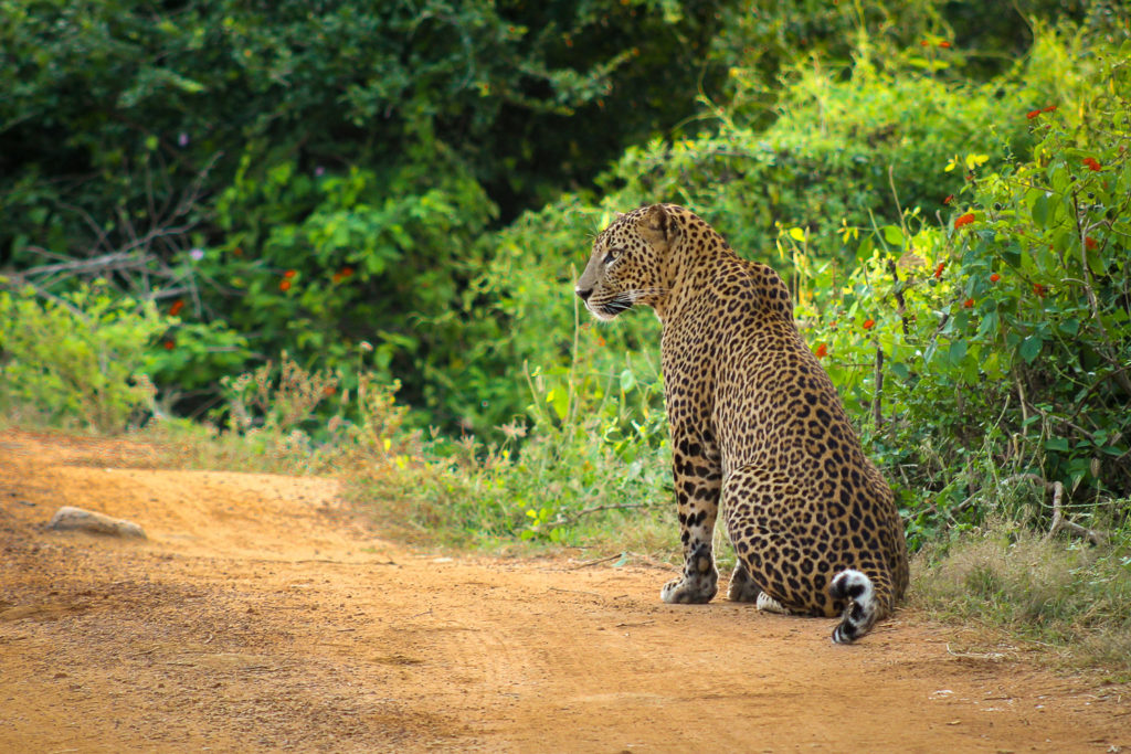 Wir haben bei der Safari einen Leoparden im Yala Nationalpark gesichtet