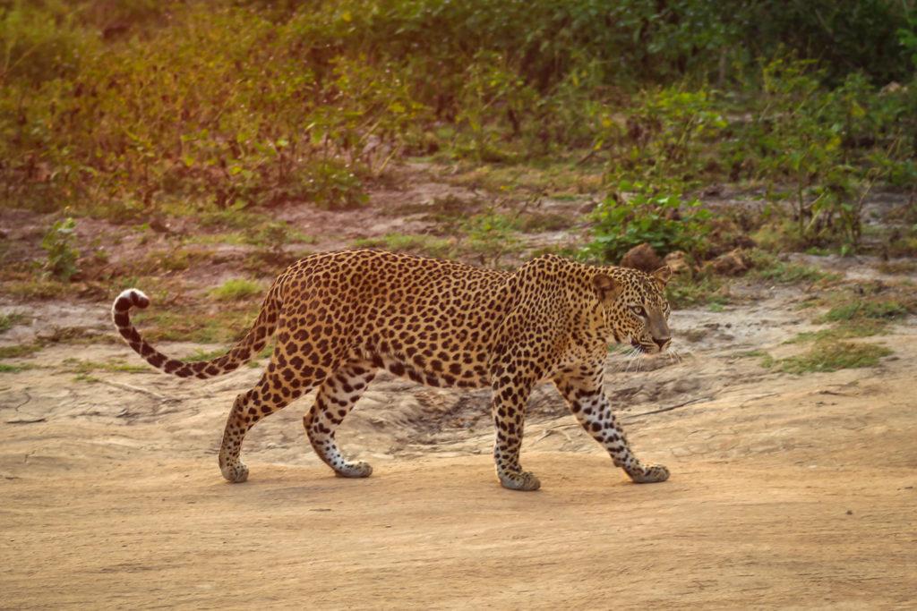 Ein Leopard in der Morgensonne des Yala Nationalparkes