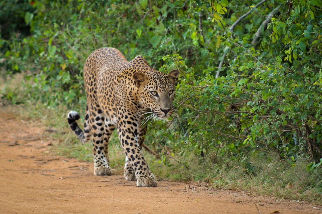 Ein Leopard kommt in unsere Richtung gelaufen