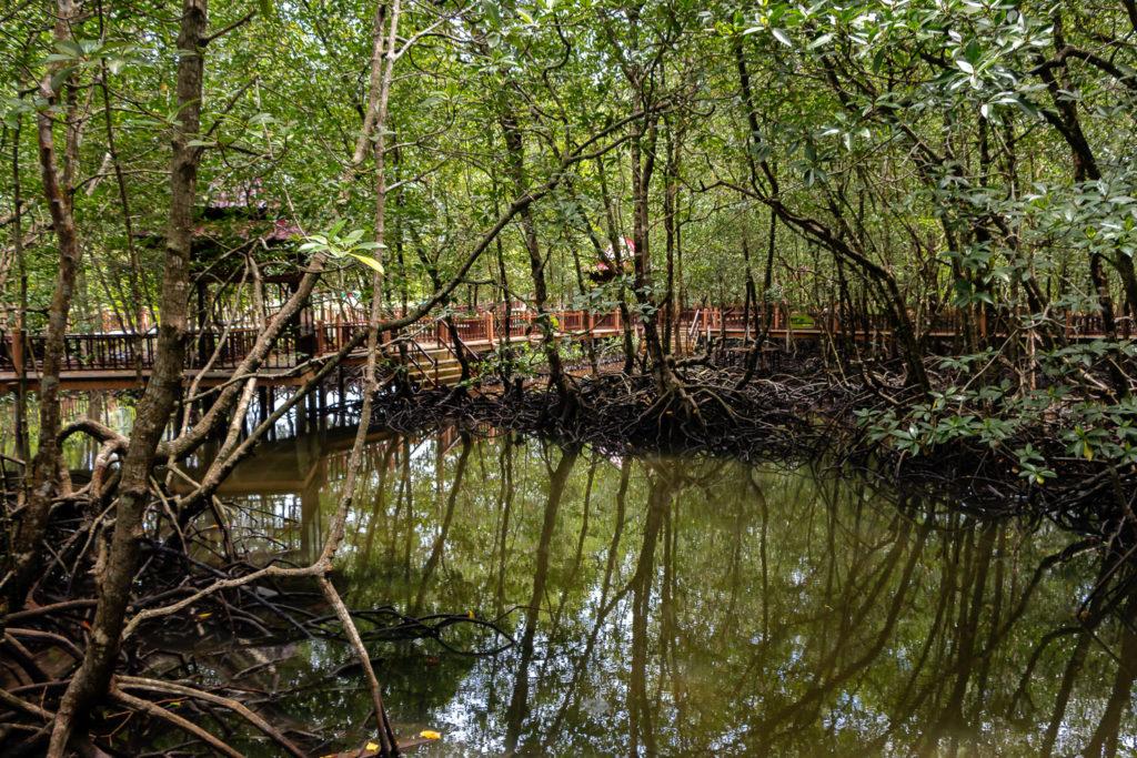 Über einige Holzwege kannst du auch per Fuß durch den Mangrovenwald laufen