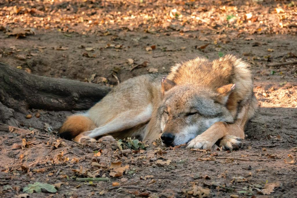 Schlafender Europäischer Grauwolf im Wolfcenter