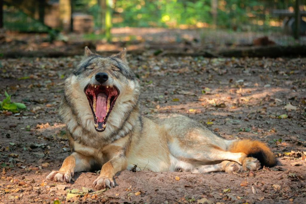 Müder Grauwolf gähnt im Wolfcenter Dörverden