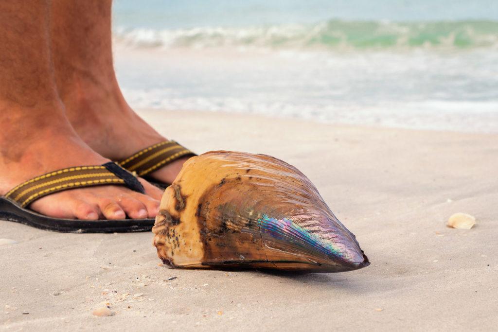 Muschel am Cenang Beach auf Langkawi