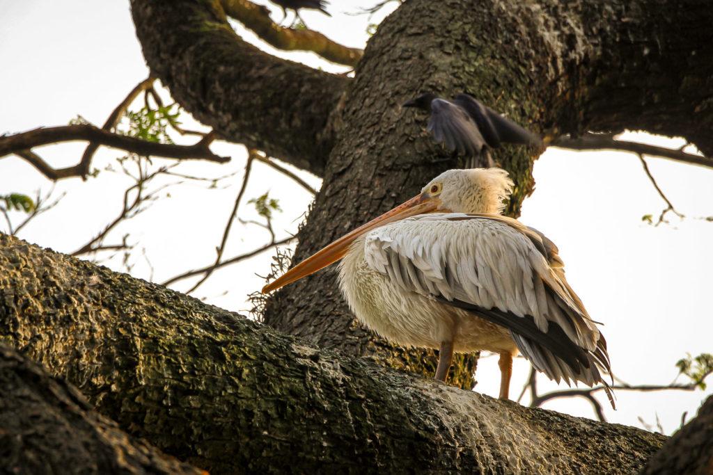 Pelikan auf einem Baum am Kandy Lake
