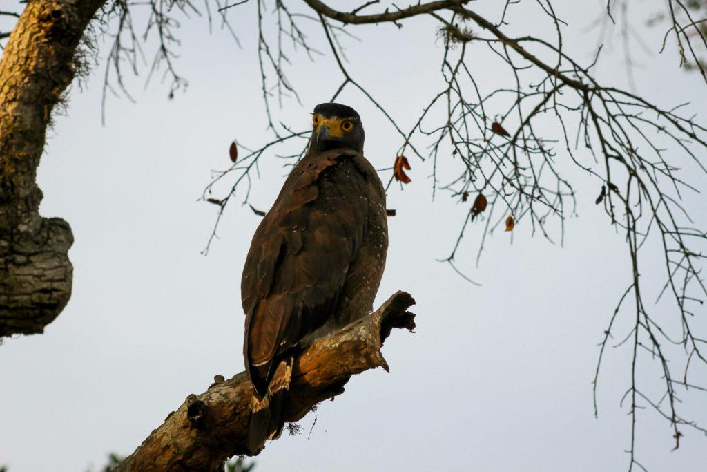 Schlangenweihe, eine Greifvogel-Art, beobachtete von einem Baum aus das Geschehen