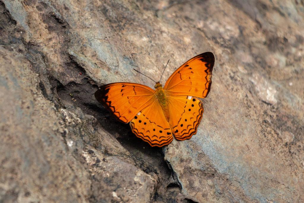 Orangener Schmetterling am Durian Perangin Wasserfall auf Langkawi