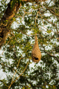 Hängendes Vogelnest im Yala Nationalpark in Sri Lanka