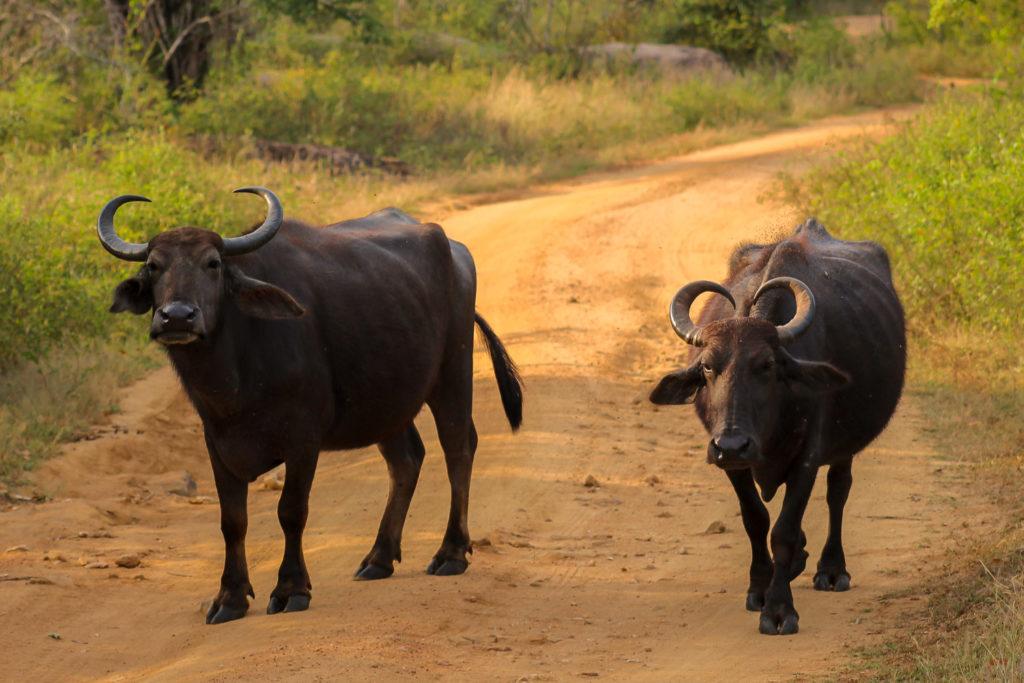 Wasserbüffel im Yala Nationalpark von Sri Lanka