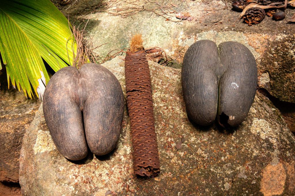 Zwei weibliche und eine männliche Coco de Mer-Früchte