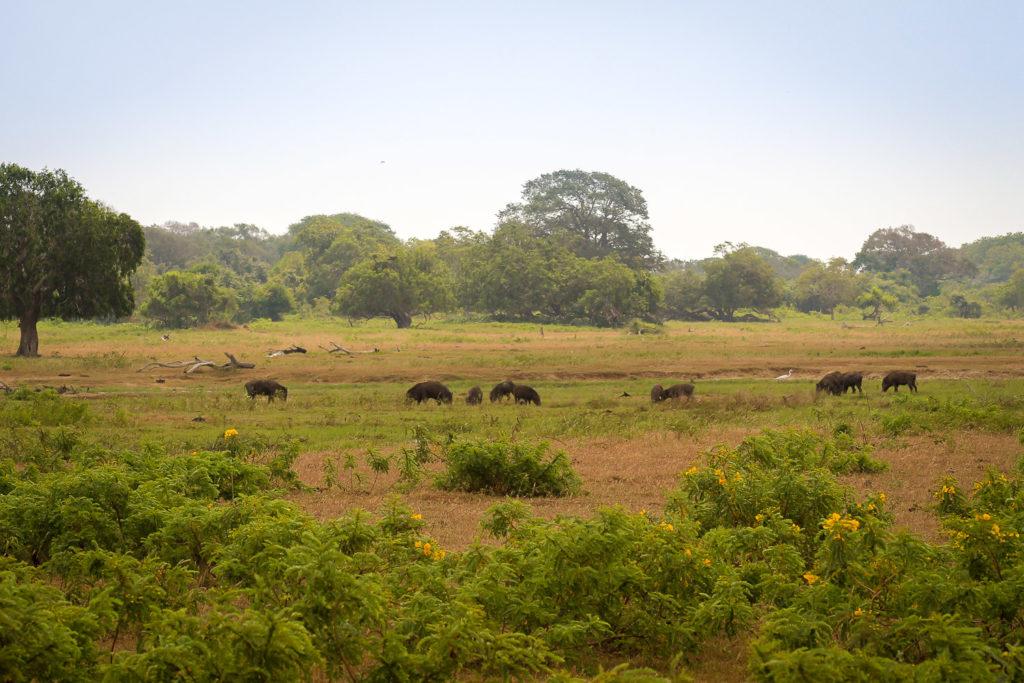Wildschweine im Yala Nationalpark