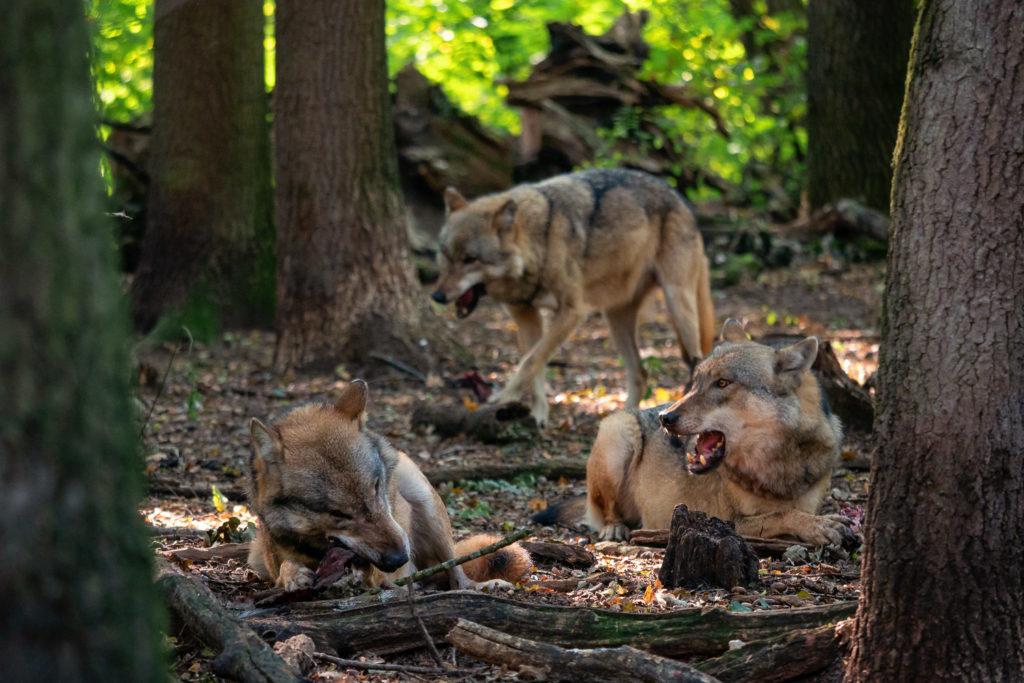 Wölfe beim Fressen des Fleisches und der Knochen
