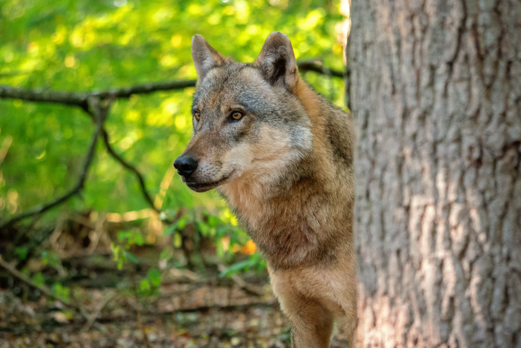 Interessierter Wolf hinter Baum