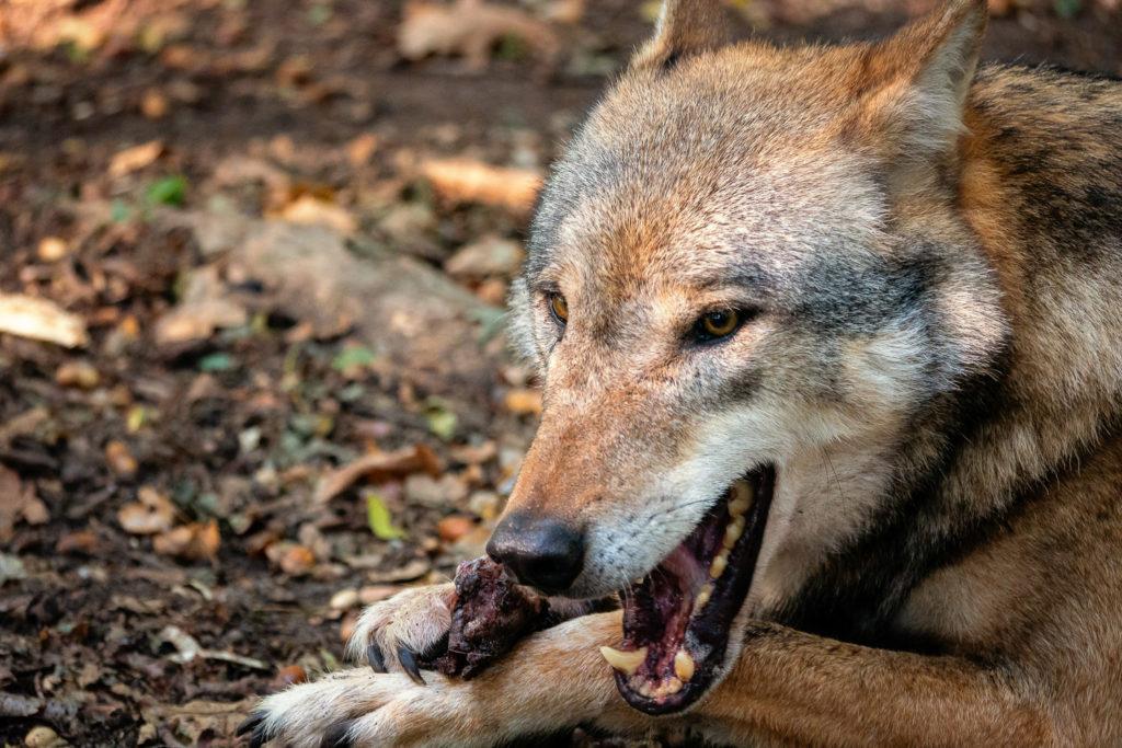 Wolf zerbeißt mit seinem kräftigen Kiefer einen Knochen